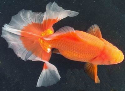Goldfish on pinterest koi butterfly koi and auction for Pesce rosso butterfly
